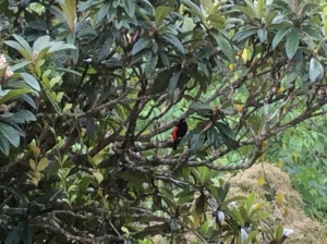 Native C.R. Bird, Black with Red Breast. photo by Areeya