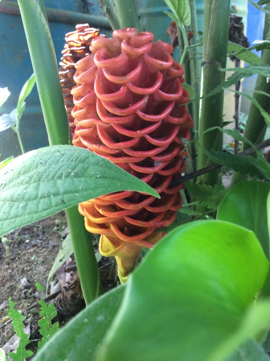 Torch Ginger, Selva Armonia, Uvita Puntarenas, Costa Rica, 2013 Forestdance